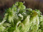 Almindelig Trvemos (Sphagnum palustre)